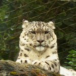 A stunning shot of the male Snow Leopard