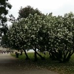 lovely tree with plenty of white flowers
