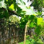Grapes plantation