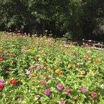 Zillion Zinnias - Backyard in Summer