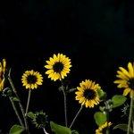Sun Flowers-GL