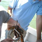 Measuring a lobster after pulling up a trap