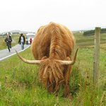 "The famous ""Scottish Highland Cow"""