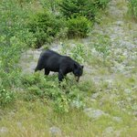 Black Bear on Route 16 near Mount Washington