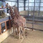 Giraffe feeding at Cotswold wildlife park