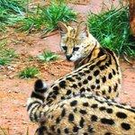 Cute wildcate