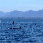 Orcas near Lucy Island