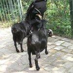 le capre sono abituate a frugare nelle carrozzine