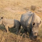 Rhino with her youngster