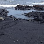 Turtles climbing up on to the black sand - August 2014