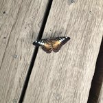 Butterfly on Boardwalk at Tropical World