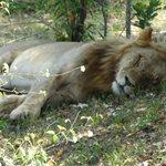 Löwe, bei der Aufsicht über 2 Löwinen und 7 Baby´s