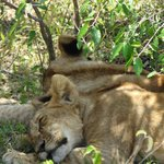 2 müde Löwenbaby`s, Rücken an Rücken