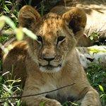 Ich bin zwar müde aber auch neugierig. Löwenbaby