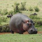 Hippo und 2 Wartenschweine im Hintergrund