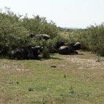 Büffelgruppe