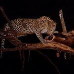 Leopard beim Wasserloch