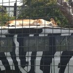 lioness kipping
