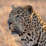 One of the stars of the weekend! - a beautiful example of a  Leopard