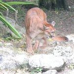 Jaguar & Puma