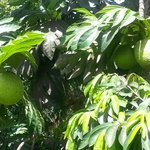 A big favourite with your host Selwyn Hobson. Breadfruit, breadfruit, breadfruit !