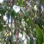 Look really carefully at the top, you'll see soursop on this tree. Great for drinks, great to ea