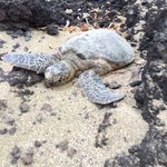 One of four sea turtles we saw on the beach at the resort.