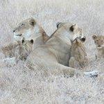 Lions at Ngala, Timbavati