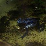 Poison blue frog