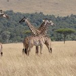 Giraffe on the savannah