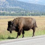 Buffalo we met on the way to the Hotel