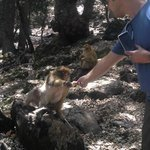 Feeding the barbary apes in the Atlas Mountains
