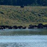 Bison along Indian Pond