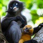 Dusky Leaf Monkeys i skogen mellom Phra Nang og Railay
