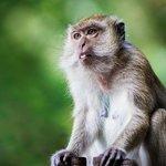 Ape i skogen mellom Phra Nang og Railay