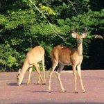 Deer the parking lot