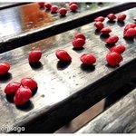 Saga seeds from the Saga Trees around Basaga