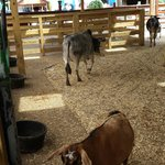 Small cows!