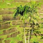 Du vert des rizières... C'est beau ?