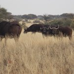 Buffalo near Lilly dale