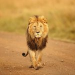 King Lion In Masai Mara