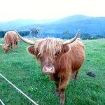 Vue - vaches Highlands