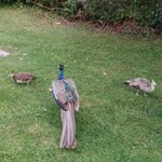 Peacock family outside the room
