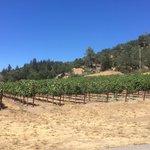 Zinfandel Grape Vines