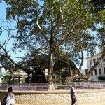 albero di Ippocrate