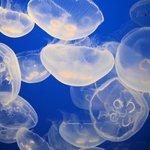 Eines der vielen schönen Quallen-Aquarien