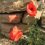 rote Schönheiten, Mohnblumen im Garten