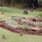 Baboons in the garden