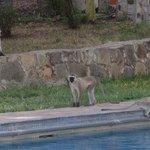 Familia de monos azules en la piscina del hotel.