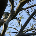 Hornbill in the tree just outside our door. :)